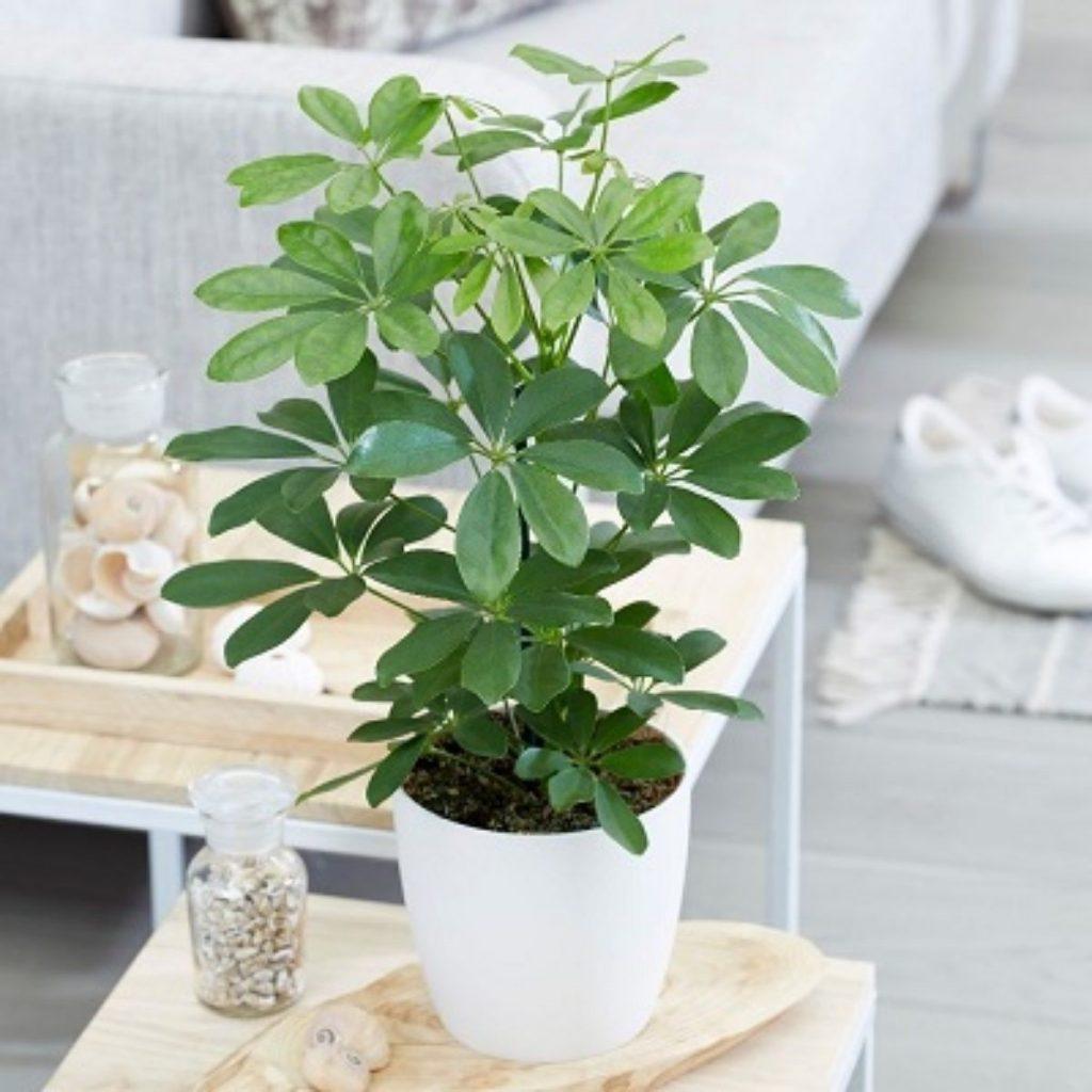 گیاه آپارتمانی پنجه ای چیست و چگونه نگهداری می شود؟