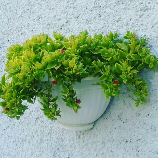گیاه آپارتمانی گل یخ چیست و چگونه نگهداری می شود؟