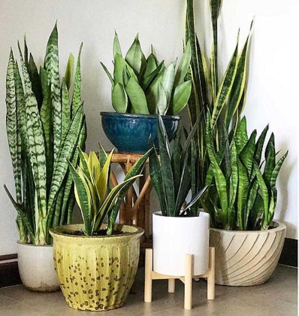 آشنایی با گیاه آپارتمانی مقاوم به سرما