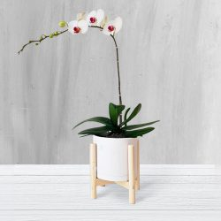 ویستور|گلدان ارکیده